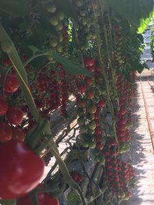 Tomatoes at Croftpak