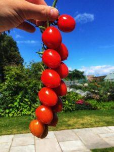 Strabena Tomatoes